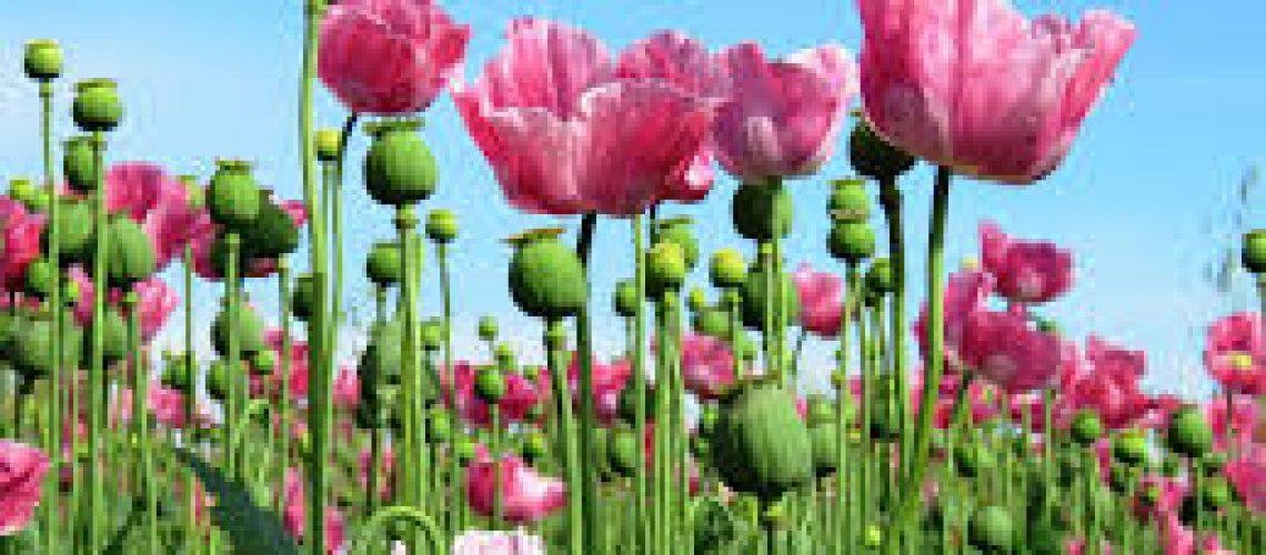 opium_pa